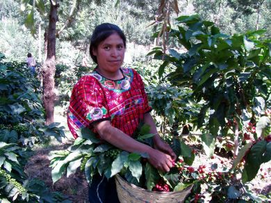 Skilled Coffee Picker