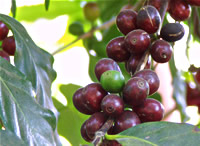 Coffee Geneology — A Varietal Family Tree